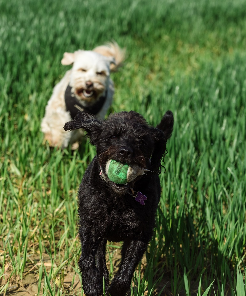 dogs with ball campervan life